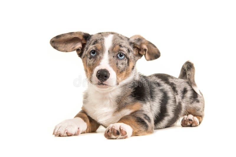 Śliczny Welsh corgi szczeniak z niebieskimi oczami i wiszącymi ucho kłama dow zdjęcia stock