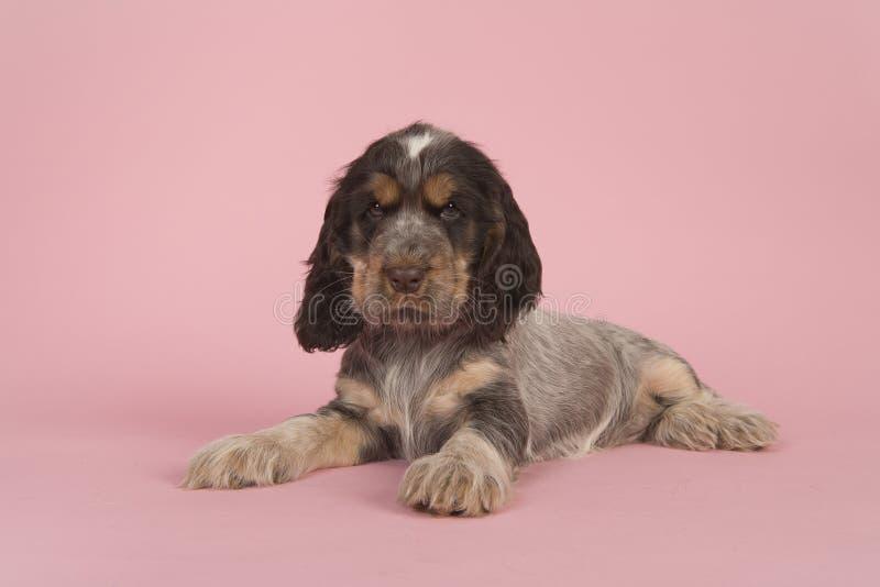 Śliczny wielo- barwiony dereszowaty anglika Cocker spaniel szczeniaka pies kłama o zdjęcia royalty free