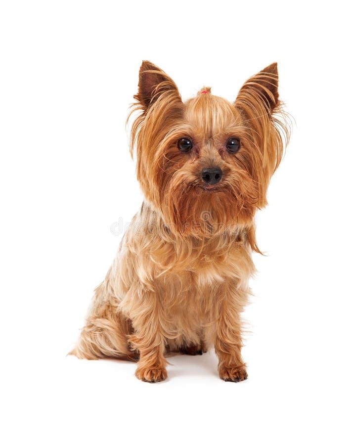 Śliczny Yorkshire Terrier pies Siedzi Patrzejący kamerę obrazy stock