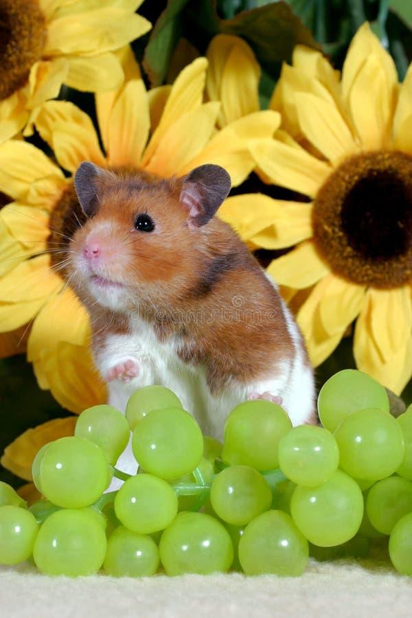 Śliczny Złoty chomik pionowy zielonymi winogronami i słonecznikami w plecy fotografia royalty free