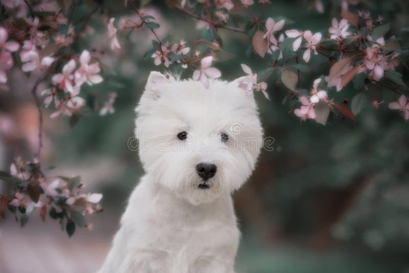 Śliczny Zachodni średniogórze biały Terrier w luksusowym parku obraz stock