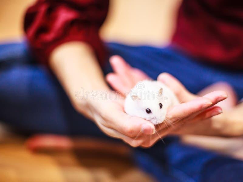 Śliczny zima Białego karła chomik na właściciel ręce karmią z zwierzęcia domowego jedzeniem obrazy stock