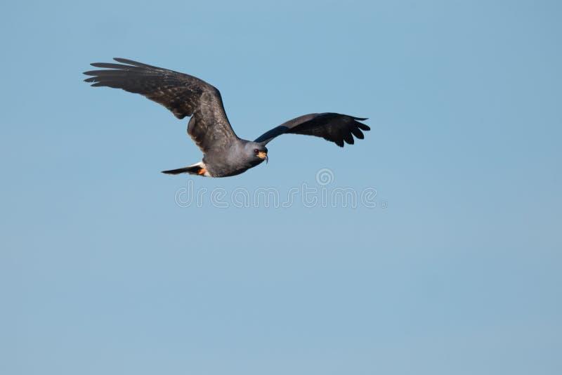 Ślimaczek kani latanie Przez Jasnego niebieskiego nieba, Joe Overstreet lądowanie zdjęcia royalty free