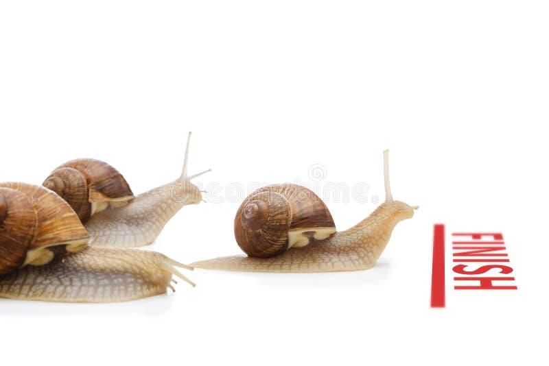 Ślimaczek krzyżuje metę jako zwycięzcy pojęcie wygrana strategia biznesowa odizolowywający biel obrazy stock
