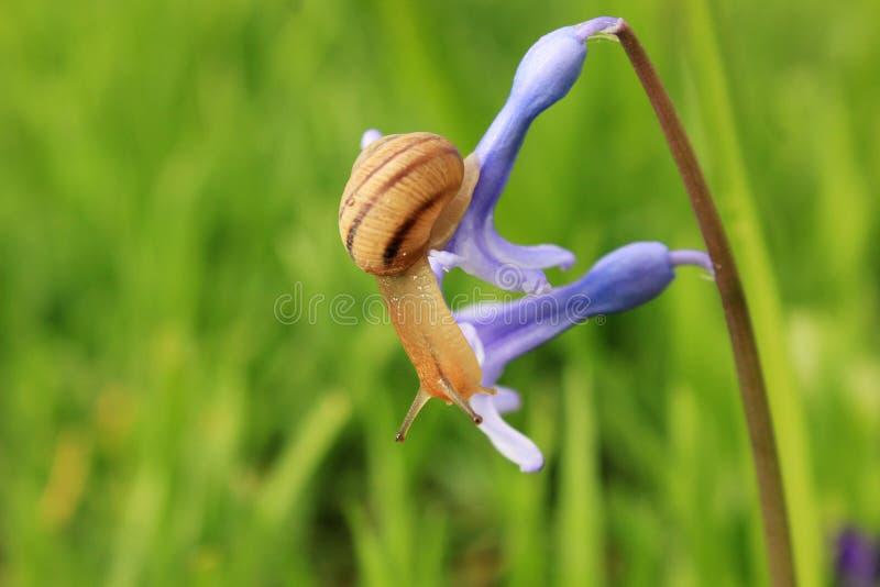 Ślimaczek na błękitnym kwiacie zdjęcie royalty free
