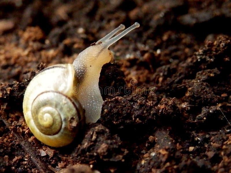 Ślimaczek na organicznie ziemi fotografia royalty free