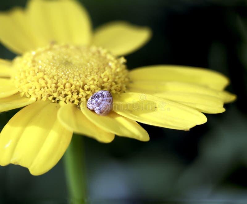 Ślimaczek na płatku w żółtym kwiacie zdjęcia stock