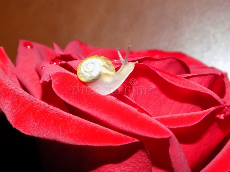 Ślimaczek na róży obraz royalty free