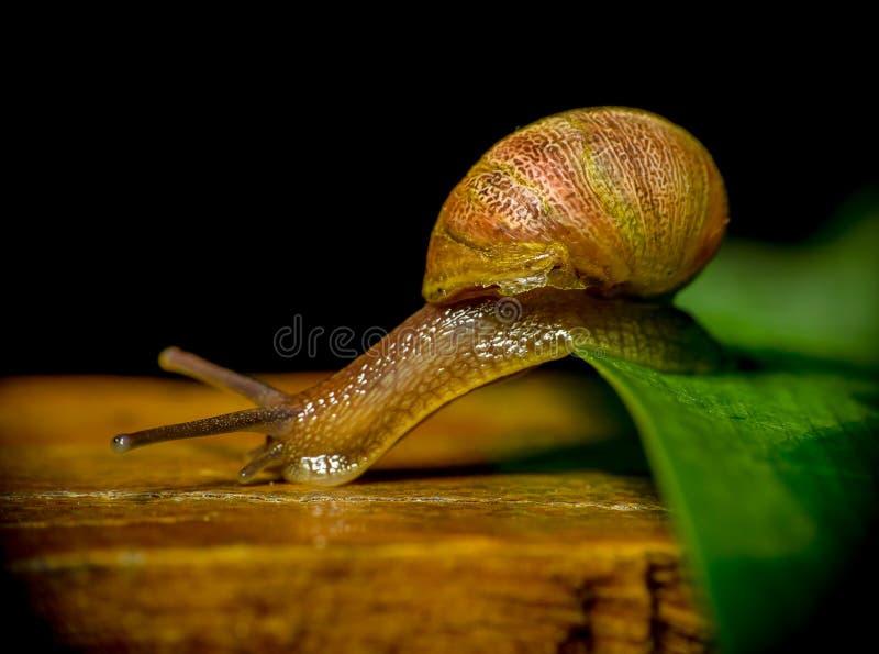 Ślimaczek w natury chodzeniu od rośliny drzewo powierzchnia fotografia royalty free