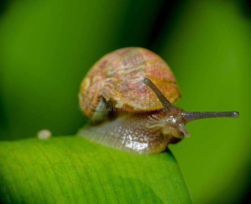 Ślimaczek w naturze siedzi wciąż na zielonej roślinie fotografia royalty free
