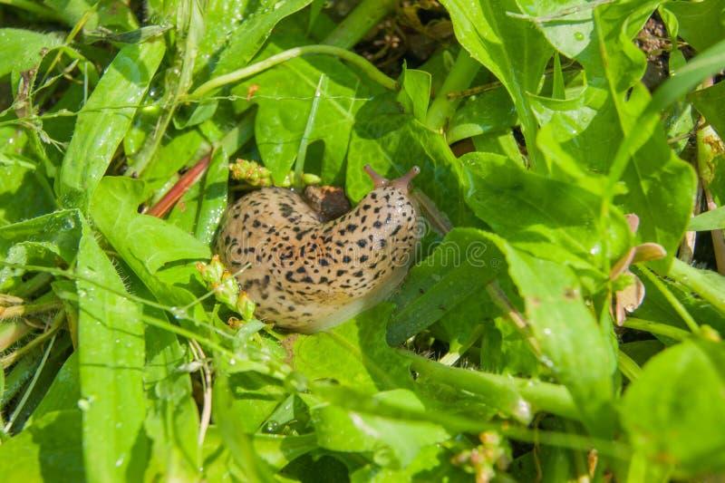 Ślimaczka chodzenie przez zielonej trawy zdjęcie stock