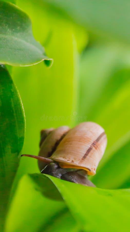 Ślimaczka czołganie na liściu fotografia stock