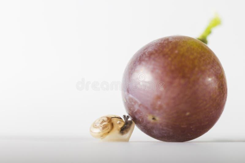 Ślimaczka znalezienia winogrono fotografia royalty free