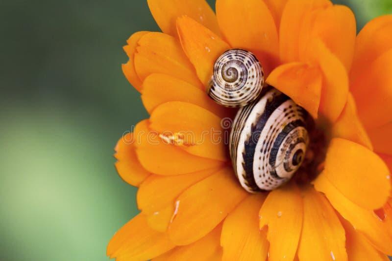 Ślimaczki w kwiacie obrazy royalty free