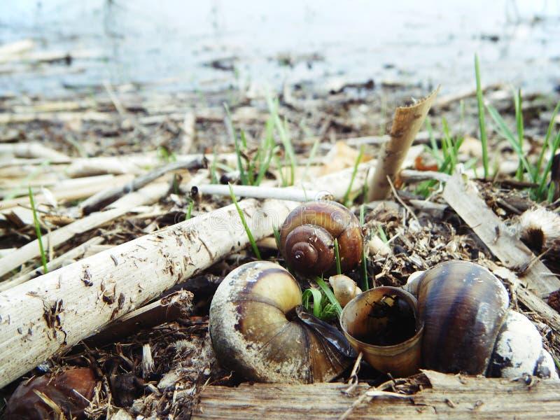 Ślimaczki w rzece Wiosna obrazy stock