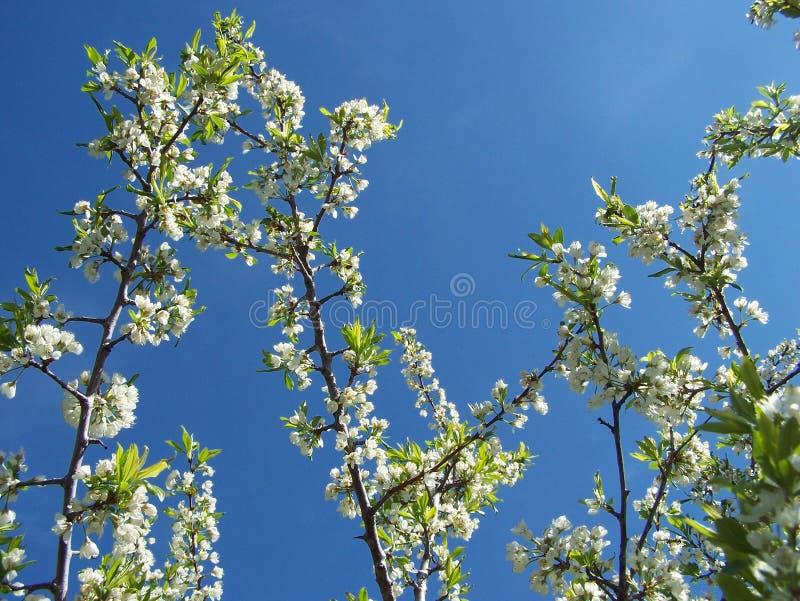 Śliwka rozgałęzia się niebo zdjęcia stock