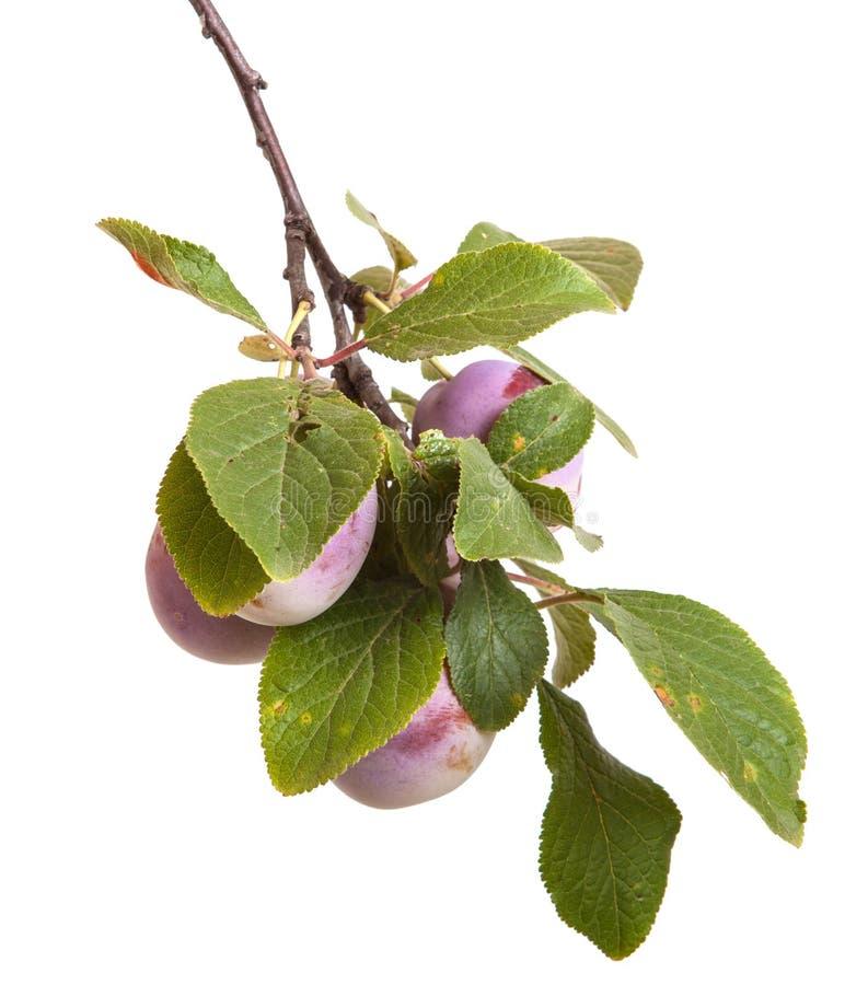 Śliwki gałąź z jagodami i liśćmi odizolowywającymi na bielu obrazy royalty free