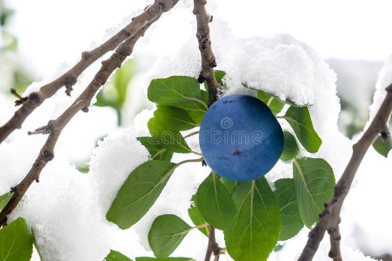 Śliwkowa owoc na gałąź fotografia stock