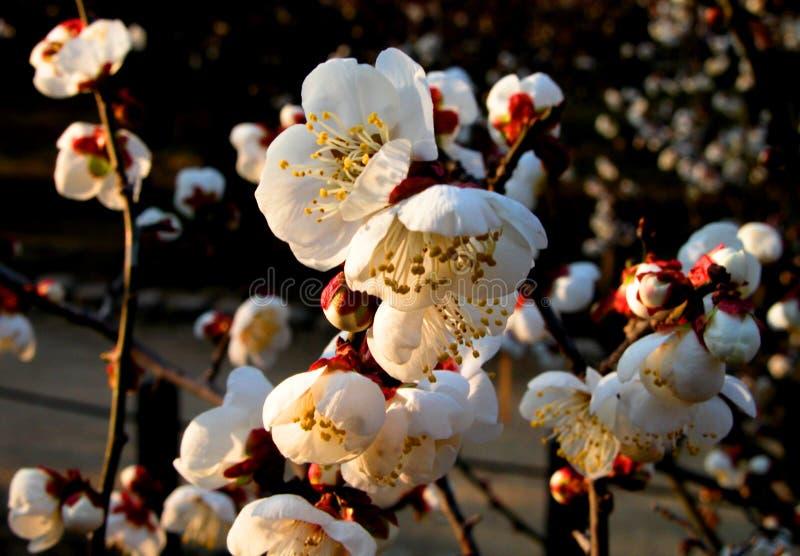 śliwkowego białe kwiaty zdjęcie royalty free