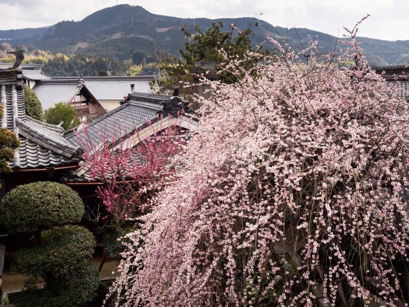 Śliwkowego drzewa kwitnienie w tradycyjnym japończyka ogródzie zdjęcia royalty free