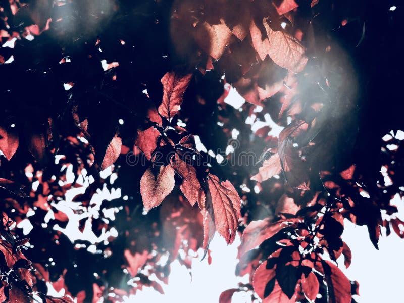 Śliwkowego drzewa liście fotografia stock