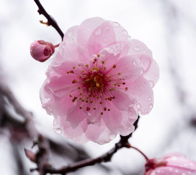 Śliwkowego drzewa okwitnięcie z raindrops fotografia stock