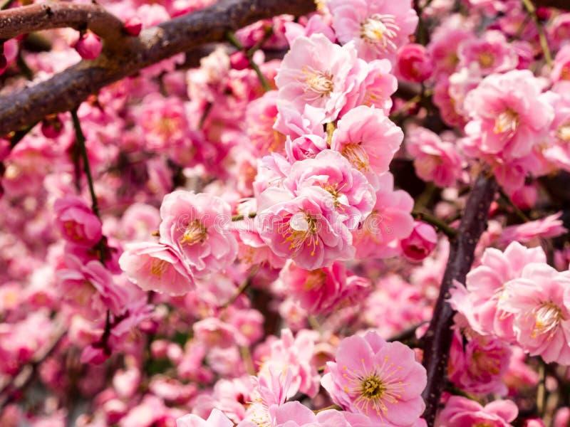 śliwkowego zakwitnąć drzewa obraz royalty free