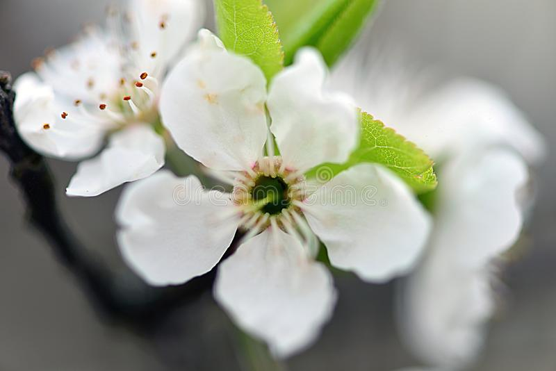 Śliwkowi kwiaty zdjęcie royalty free