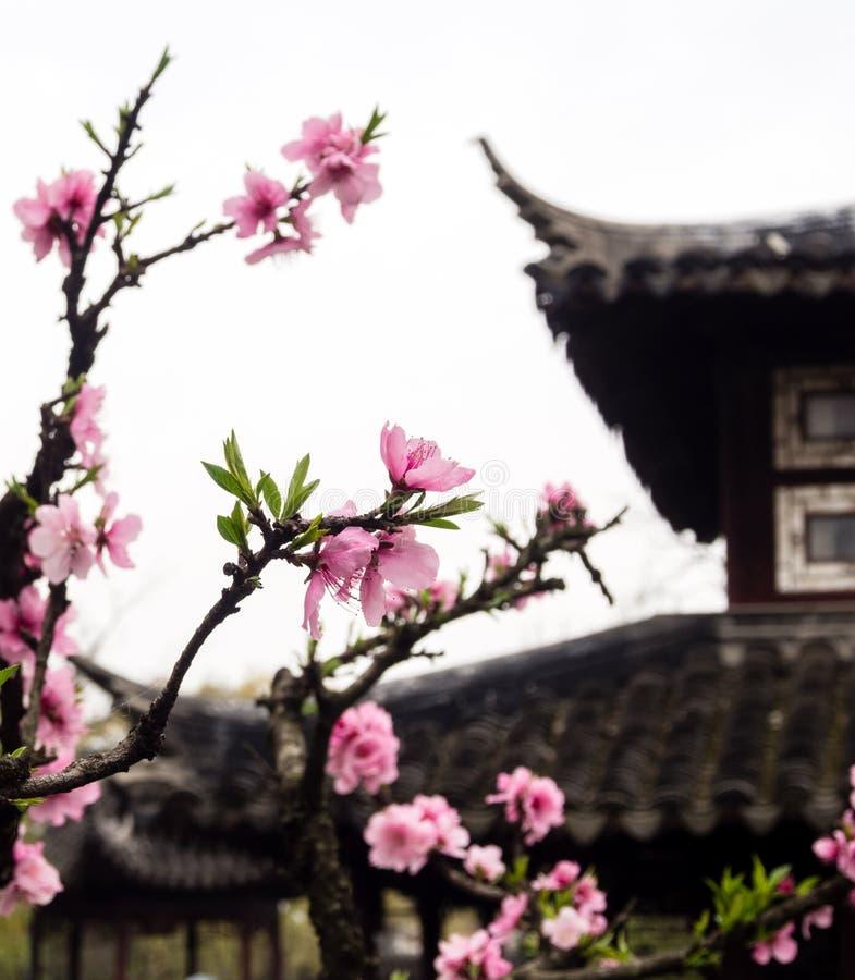 Śliwkowy drzewo kwitnie w klasycznym chińczyka ogródzie zdjęcia royalty free
