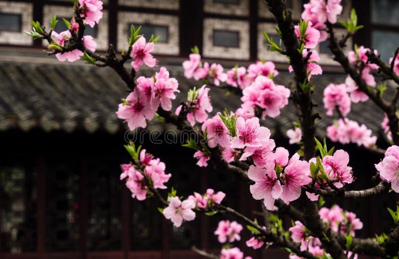 Śliwkowy drzewo kwitnie w klasycznym chińczyka ogródzie obraz stock