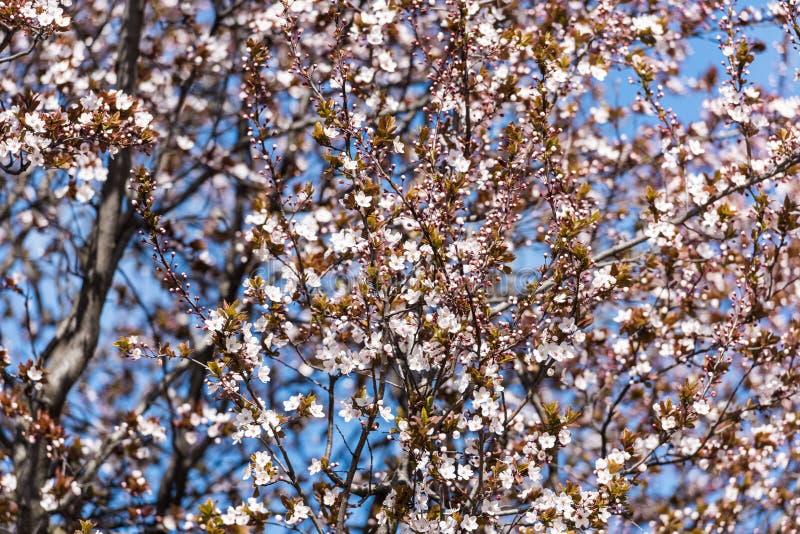 Download Śliwkowy Drzewo Kwitnie W Wiośnie Obraz Stock - Obraz złożonej z okwitnięcie, kolor: 53782341