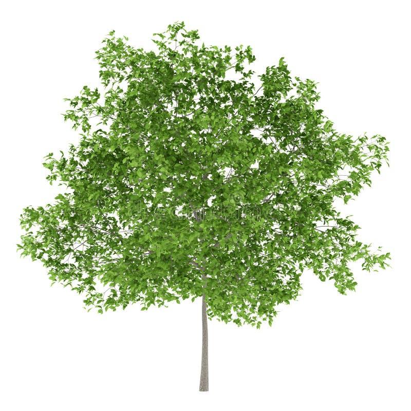 Śliwkowy drzewo odizolowywający na bielu royalty ilustracja