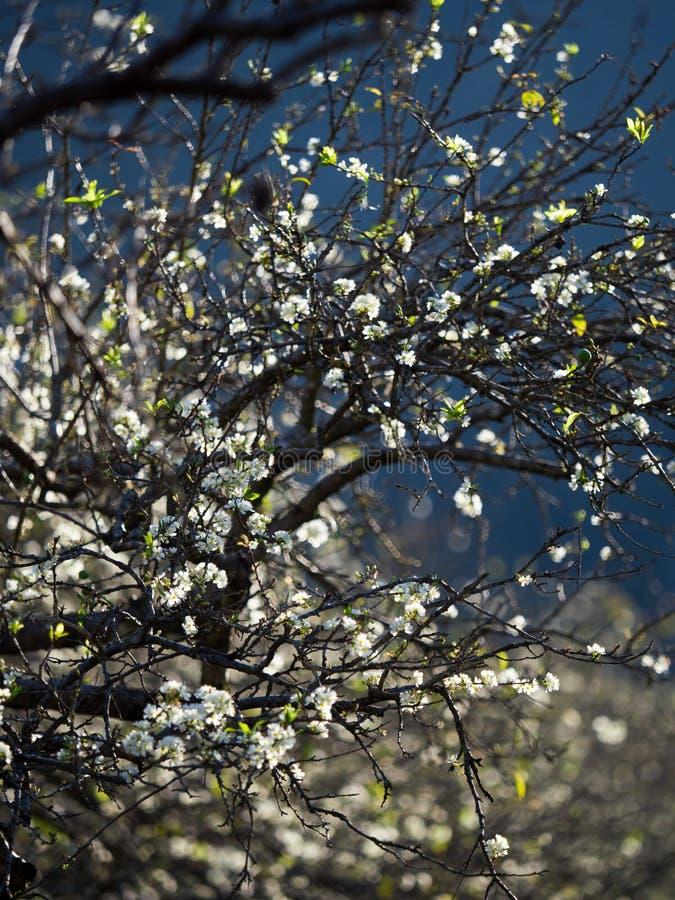 śliwkowy kwiat w NaKa valey Moc Chau obrazy royalty free