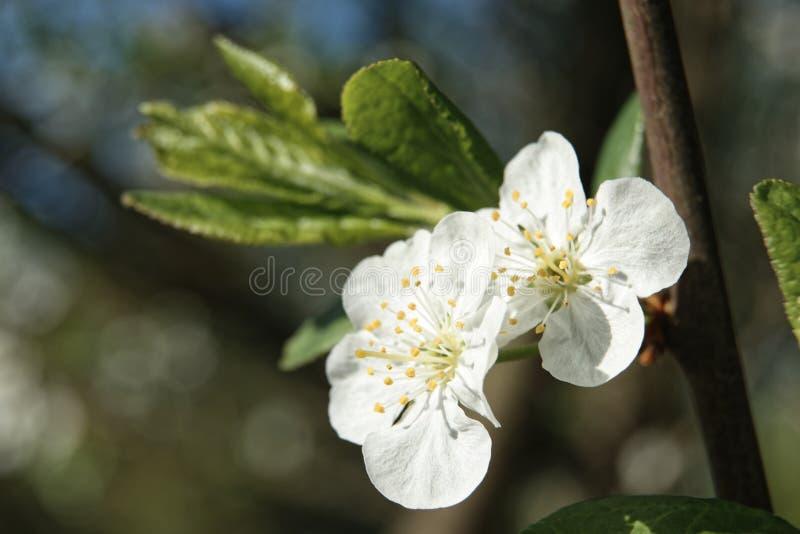 Śliwkowy kwiatu drzewo w ogródzie fotografia royalty free