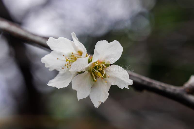 Śliwkowy kwiatu prunus domestica, kwitnie fotografia stock