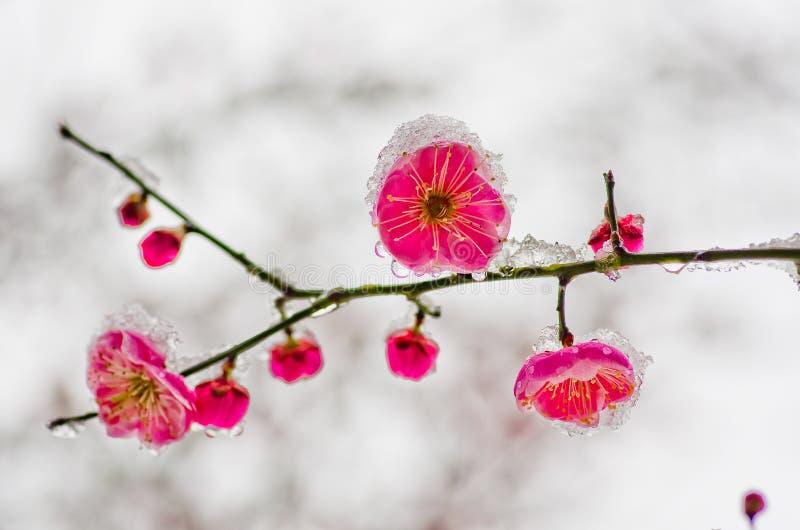 Śliwkowy okwitnięcie zakrywa z śniegiem zdjęcie royalty free