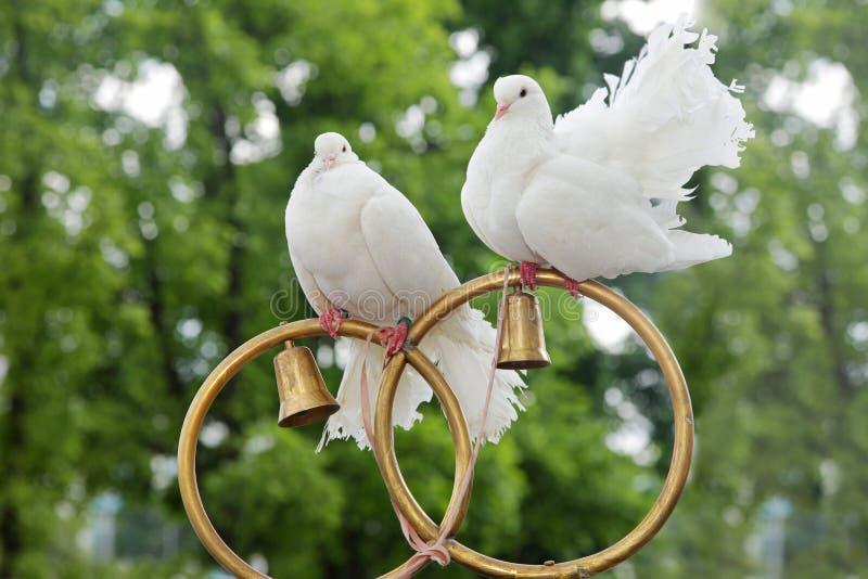 Ślubne gołąbki siedzą na złocistych pierścionkach zdjęcia royalty free