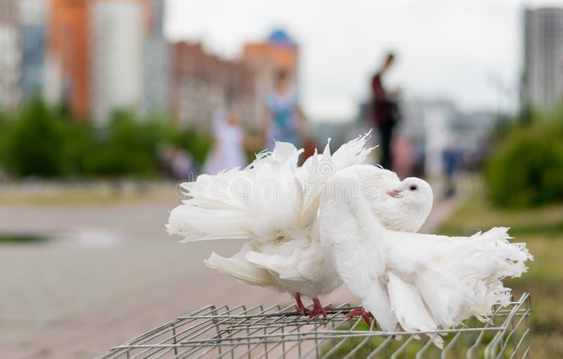 Ślubni biali gołębie pozuje w parku zdjęcia stock