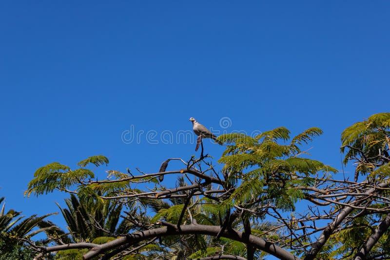Śmiać się gołąbki Spilopelia senegalensis miejsca siedzące na płomienia drzewa Delonix regia z Nasieniodajnymi strąkami,  fotografia stock