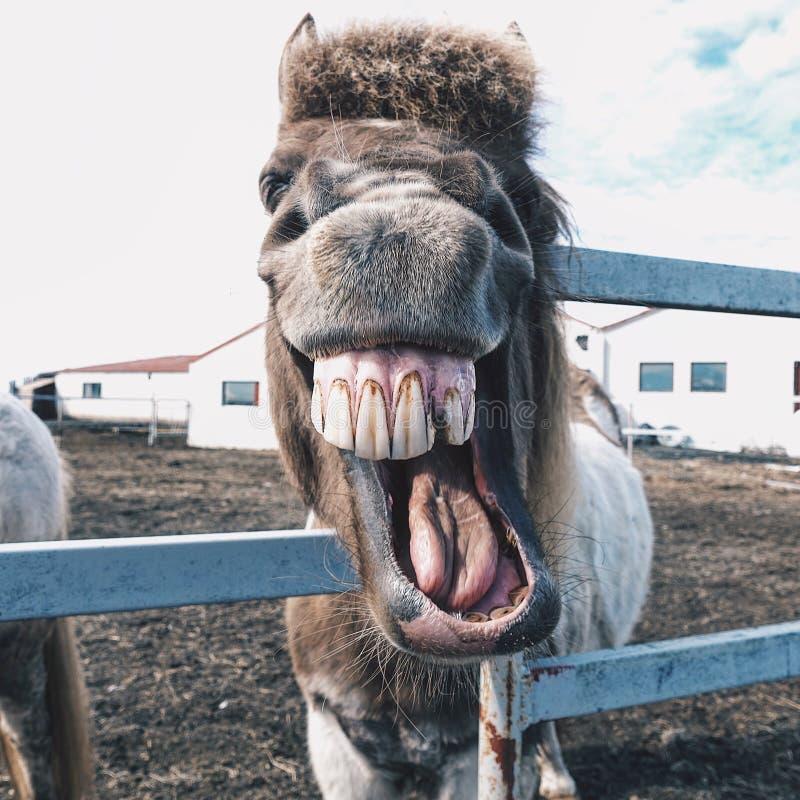 Śmiać się Iceland konia zdjęcia royalty free