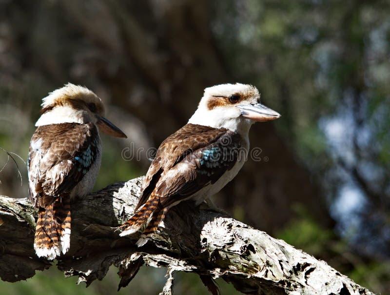 Śmia się Kookaburras fotografia royalty free