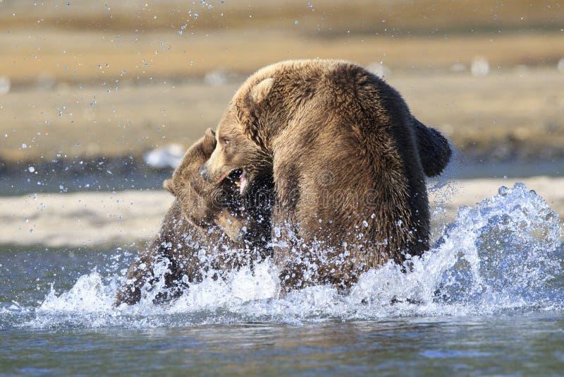 Śmiercionośna walka między dwa niedźwiedziami obrazy stock