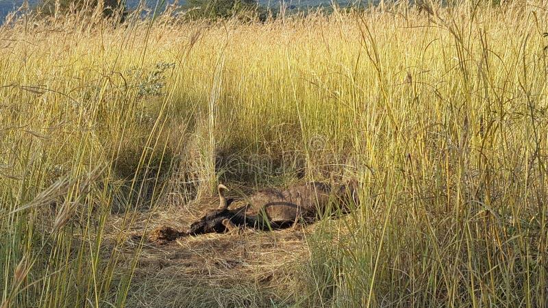 Śmiertelny wildebeest w waterberg gemowym parku obrazy royalty free