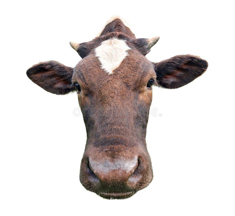 Śmieszna śliczna łaciasta krowa odizolowywająca na bielu Czarny i biały krowa kagana zakończenie up ciekawy krowy zabawne zdjęcie royalty free