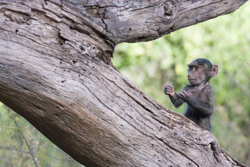 Śmieszna dziecko małpa w boxer& x27; s poza na drzewie zdjęcie stock