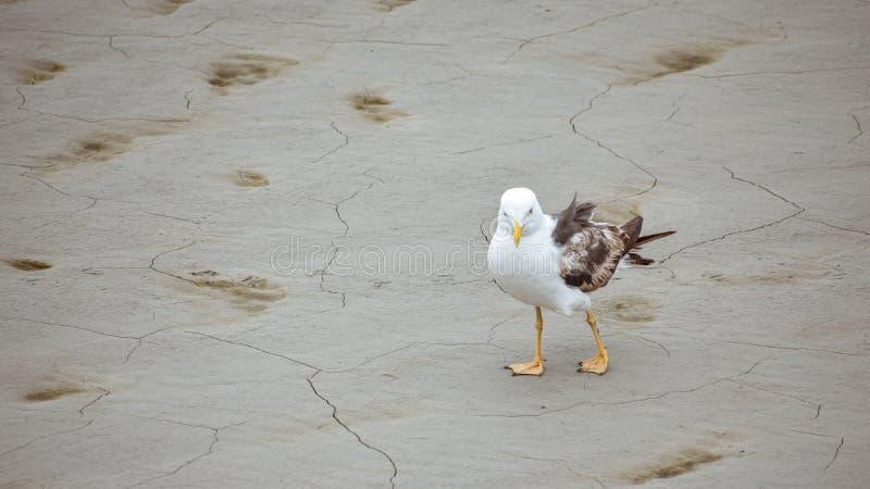 Śmieszna fotografia seagull odprowadzenie na suchym lądzie plaża zdjęcie stock