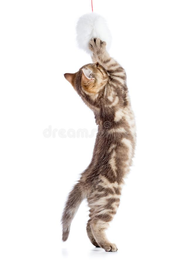 Śmieszna kot figlarka bawić się mokiet zabawkę na białym tle zdjęcie stock