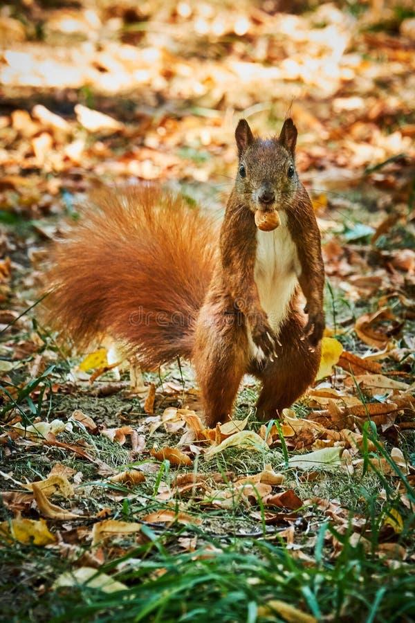 Śmieszna przyglądająca czerwonej wiewiórki pozycja na dwa nogach z dokrętką w usta intryguje jak ono mógł nadzorować fotografa zdjęcie stock