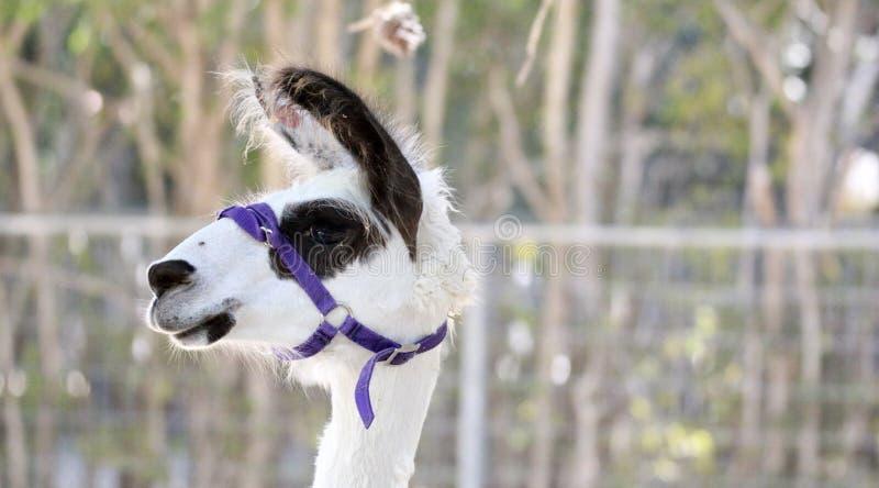 Śmieszna przyglądająca lama zdjęcia royalty free