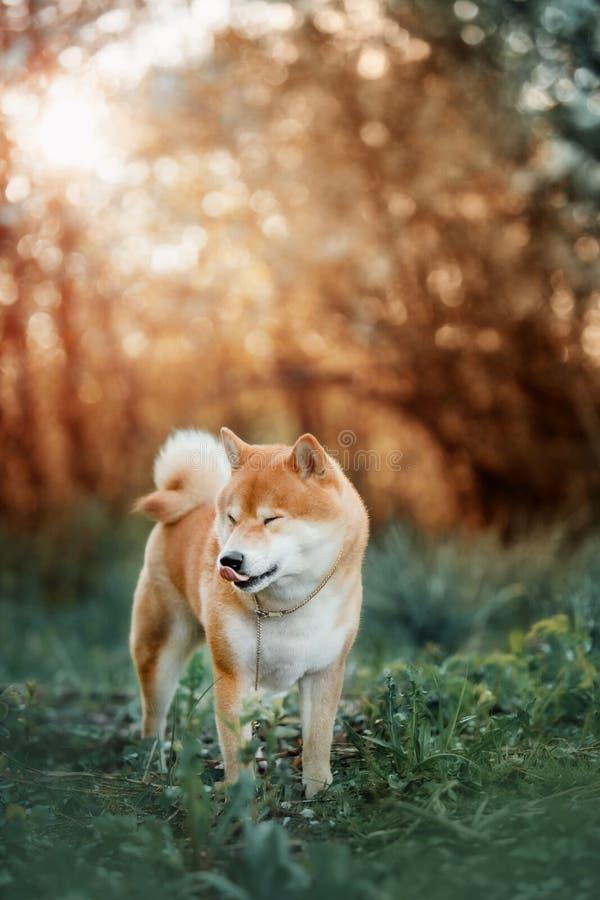 Śmieszna psia trakenu Shiba Inu pozycja na zielonej łące obraz stock